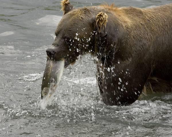 Усевшись по грудь в воде, медведь ловко орудует лапами, вышвыривая на берег одну рыбину за другой.  Или.
